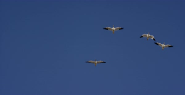 Slow motion shot of snow geese flying in blue sky Royalty-free stock video