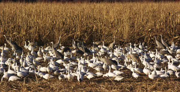 Hand-held shot of a flock of snow geese and sandhill cranes resting on a field Royalty-free stock video