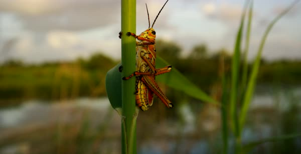 Hand-held shot of a grasshopper perching on a reed Royalty-free stock video