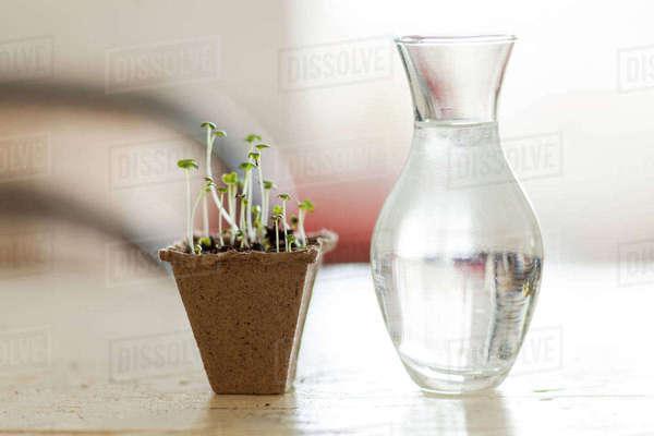 Seedlings Near Vase Of Water Stock Photo Dissolve