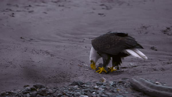Medium shot of bald eagle eating its prey Rights-managed stock video