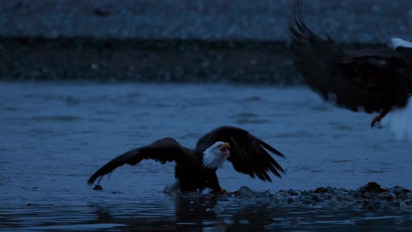 Slow motion shot of two bald eagles brawling on river bank Rights-managed stock video