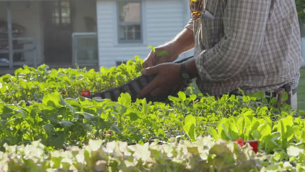 Slow motion shot of a man examining seedlings planted in small pots Royalty-free stock video