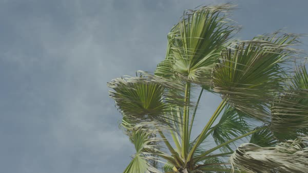 Swaying palm tree against sky Royalty-free stock video