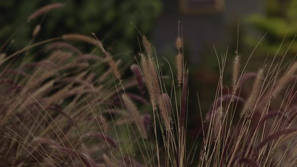 Close up of reed blowing in the wind, Los Angeles, California, United States of America Royalty-free stock video