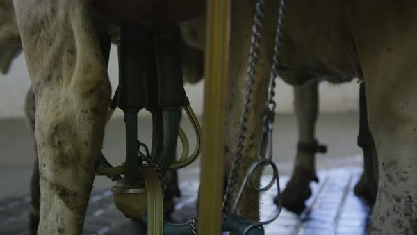 Static view of machine hooked up to cows udders during milking process. Royalty-free stock video