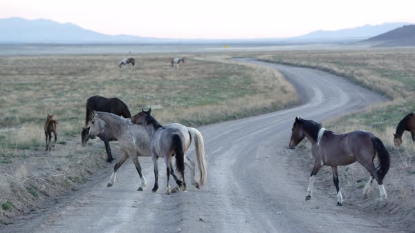 Panning view of wild horses crossing dirt road in a desert landscape. Royalty-free stock video
