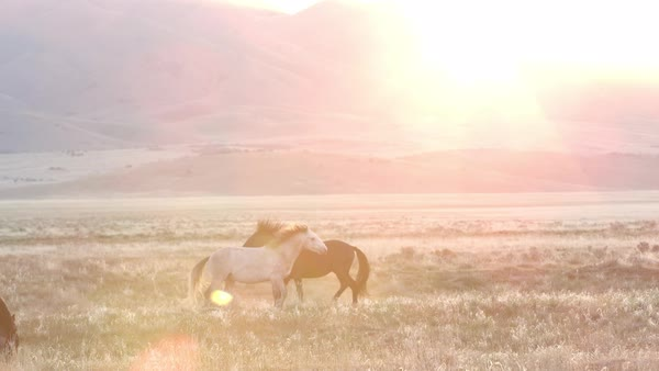 Two horses playing in the distance as the sun peaks over the mountain top. Royalty-free stock video