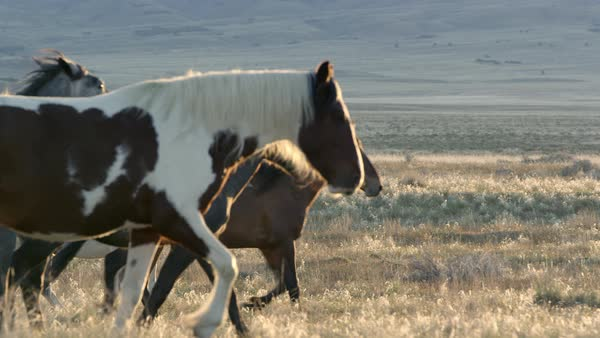 Wild horses walking as the sun rises over the mountain top and fills the field with a glow. Royalty-free stock video