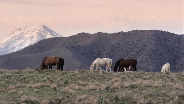View of wild horse grazing on the horizon at sunrise with rolling hills in the background. Royalty-free stock video
