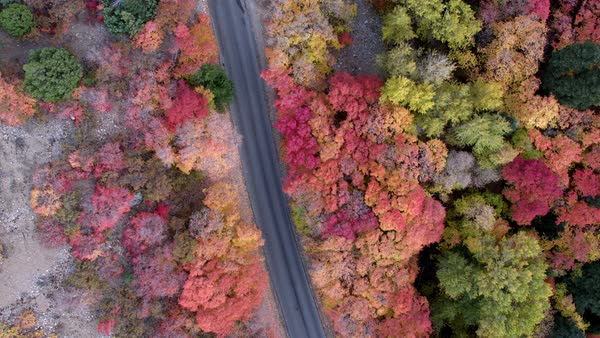 Top down aerial view looking at colorful fall foliage with road cutting through the forest Royalty-free stock video