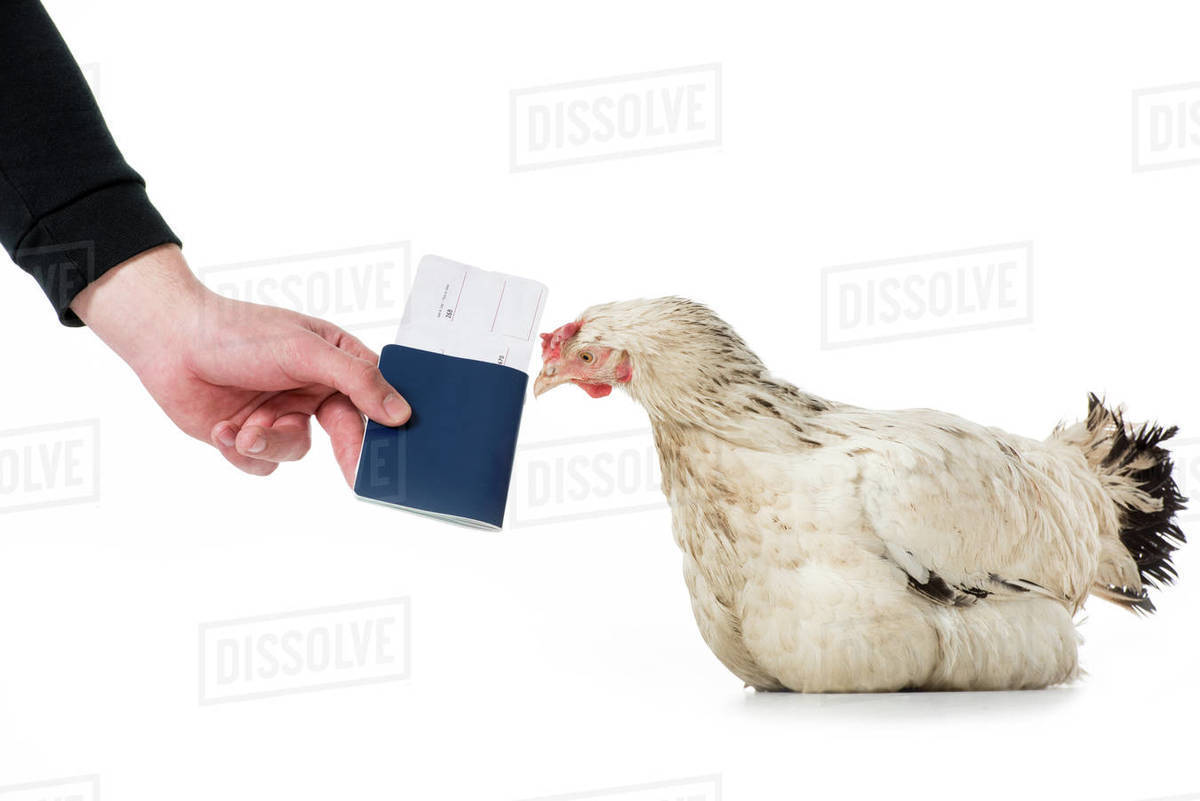 Cropped shot of person giving passport with ticket to hen isolated on white  stock photo