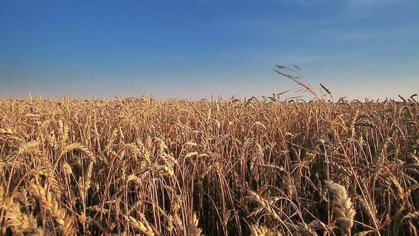 Linear moving near wheat field Royalty-free stock video