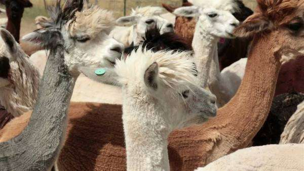 Alpaca herd livestock farm ranch. Farm and ranch herd of domestic livestock Alpaca, Llama family. Grown for luxury wool and breeding animals. Some sheared with haircut wearing funny punk hair style. Friendly family pets. Central Utah business. Royalty-free stock video