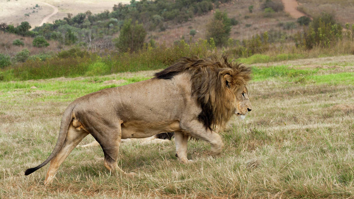 Side view of lion (panthera leo) walking, Sterkfontein DMA ... - photo#1