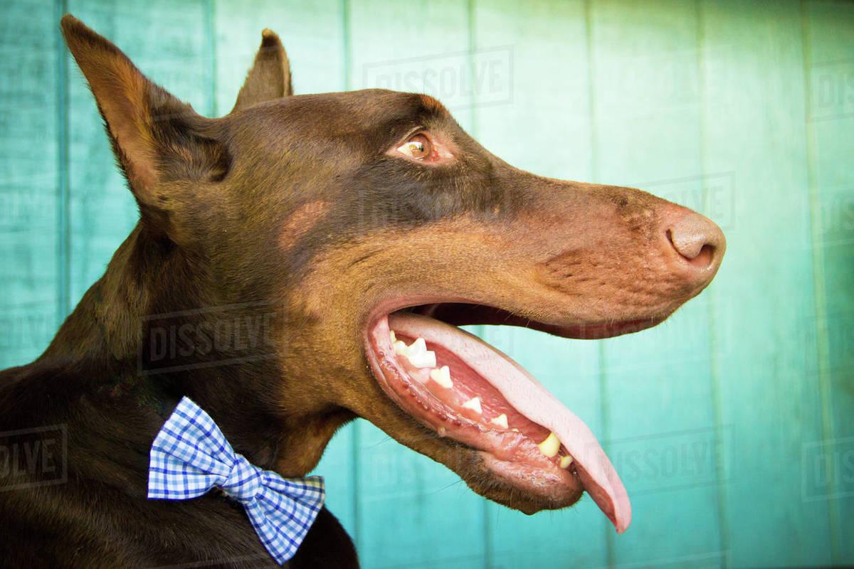 red warlock doberman pinscher dog ...