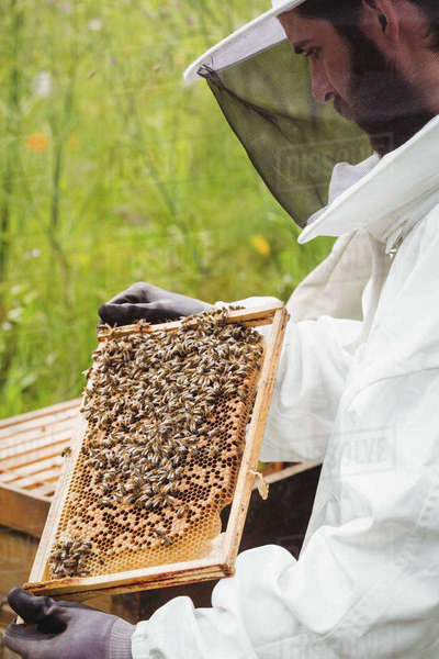 Beekeeper holding and examining beehive in the field Royalty-free stock photo