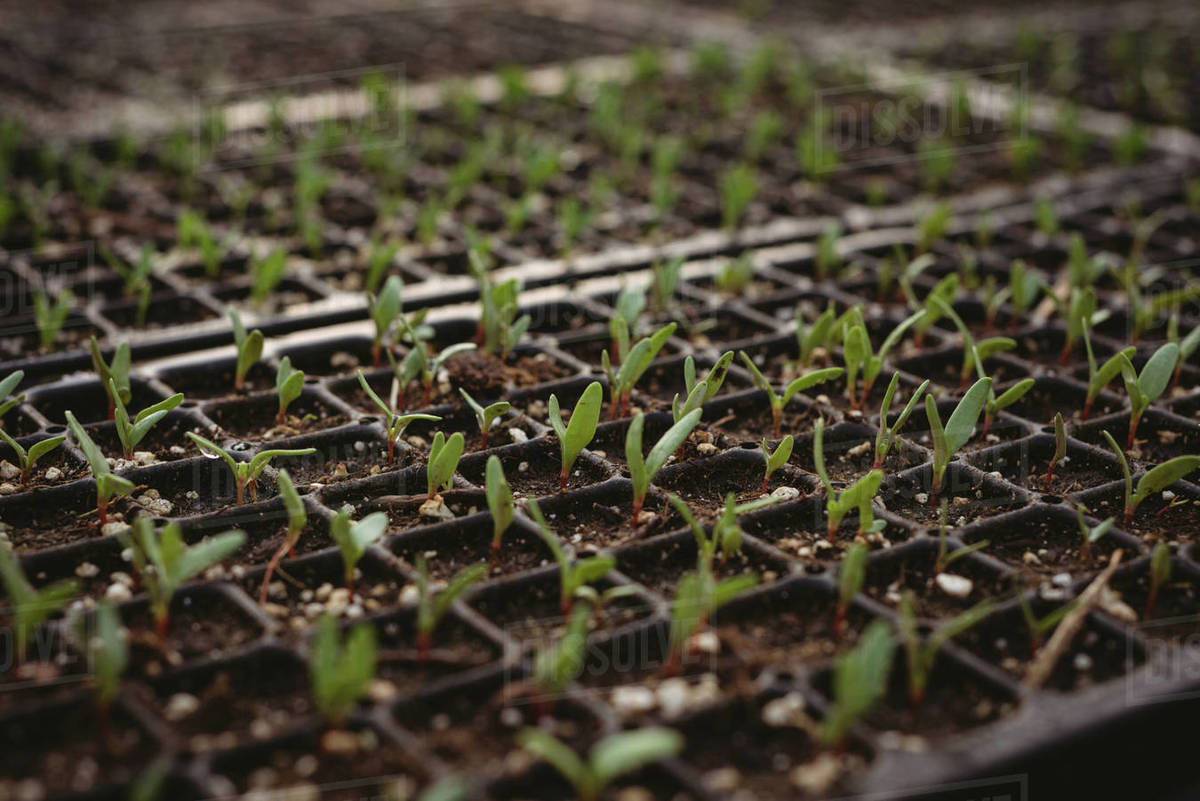 Rows of small plant saplings in pots being cultivated in a ...