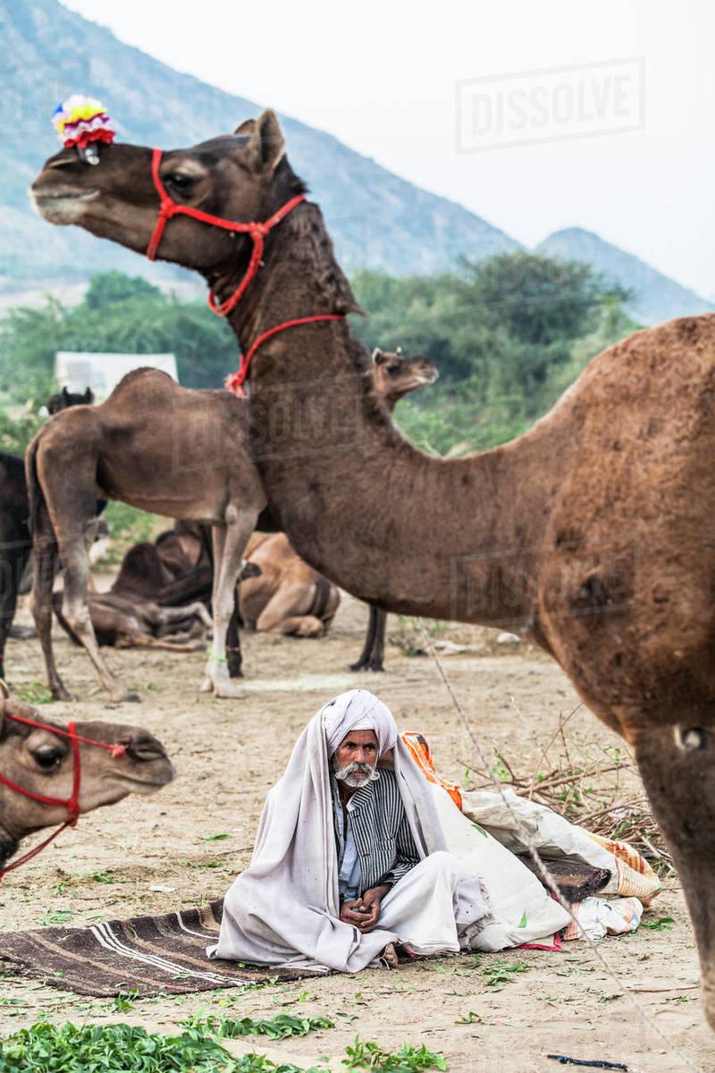 Camel herder early in the morning at the Pushkar Camel Fair, Pushkar, Rajasthan, India, Asia Royalty-free stock photo