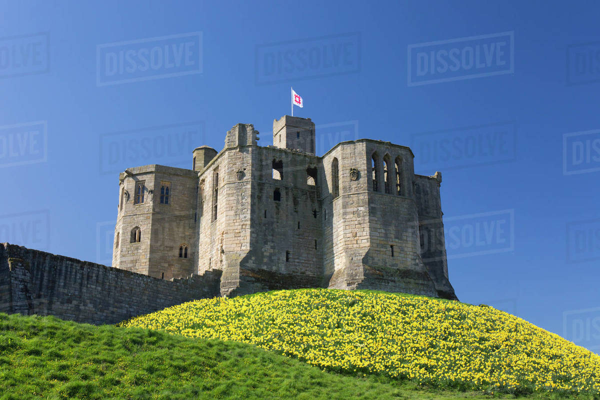 The Great Tower of Warkworth Castle, spring, carpet of golden daffodils on hillside, Warkworth, Northumberland, England, United Kingdom, Europe Rights-managed stock photo