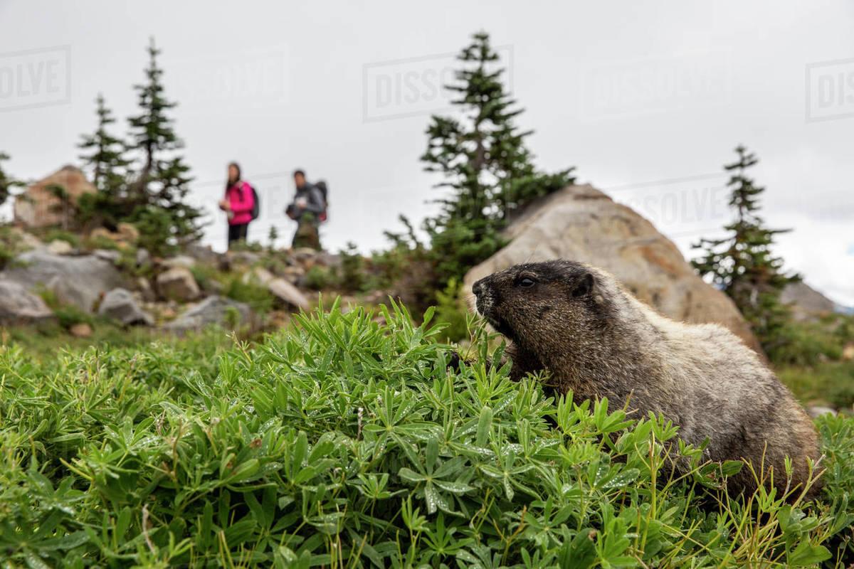 Adult hoary marmot (Marmota caligata), on the Deadhorse Creek Trail, Mount Rainier National Park, Washington State, United States of America, North America Royalty-free stock photo