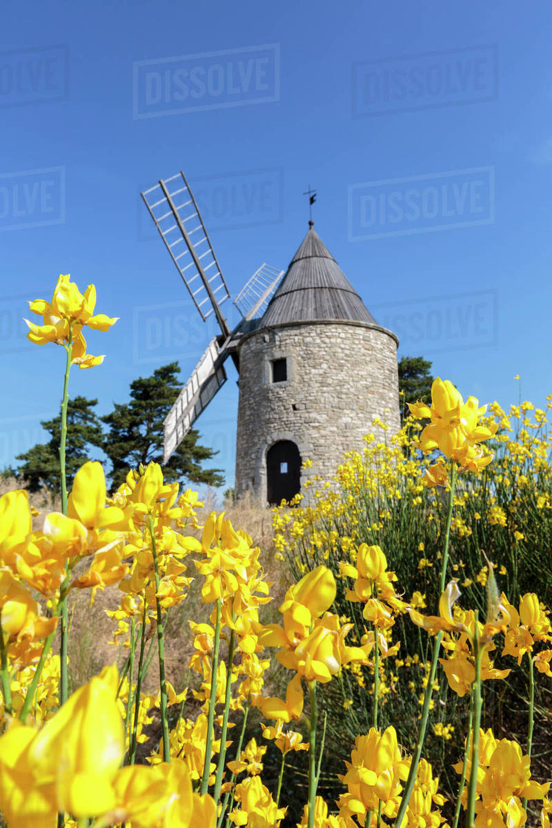 Saint Elzear Windmill With Yellow Flowers In The Foreground