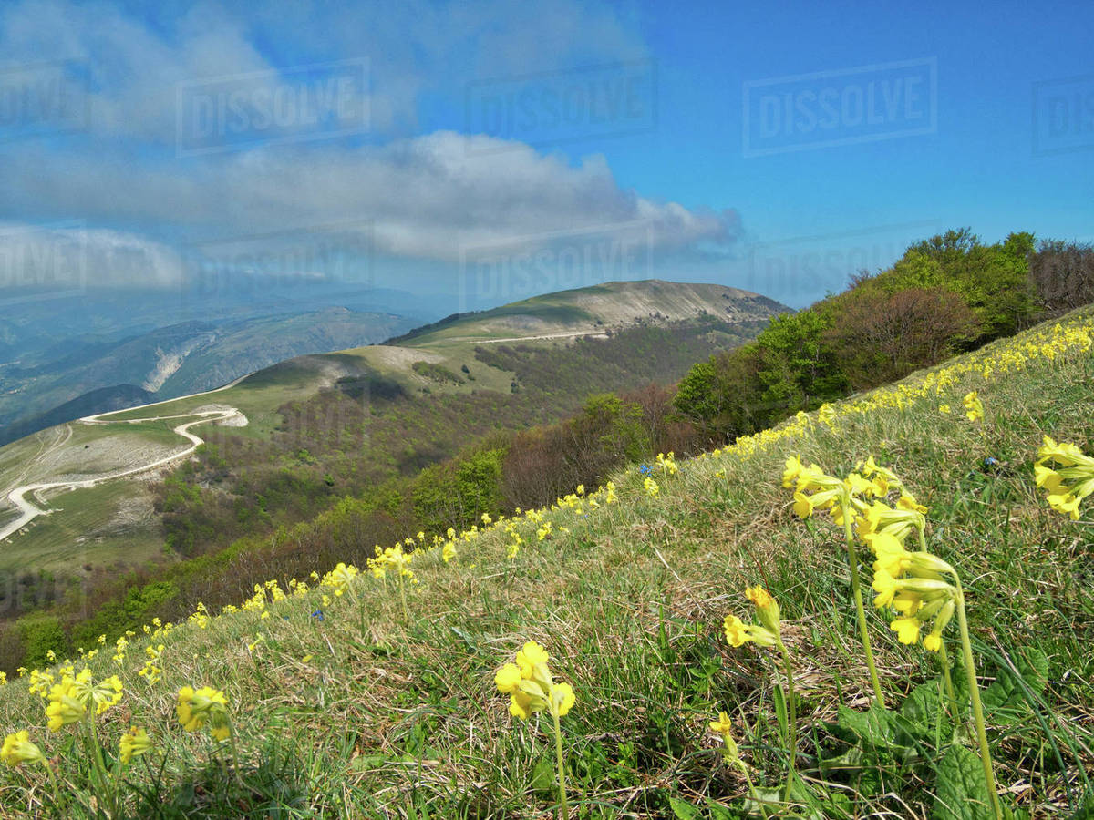 Yellow flowers blooming in the fields mount acuto apennines yellow flowers blooming in the fields mount acuto apennines umbria italy europe mightylinksfo