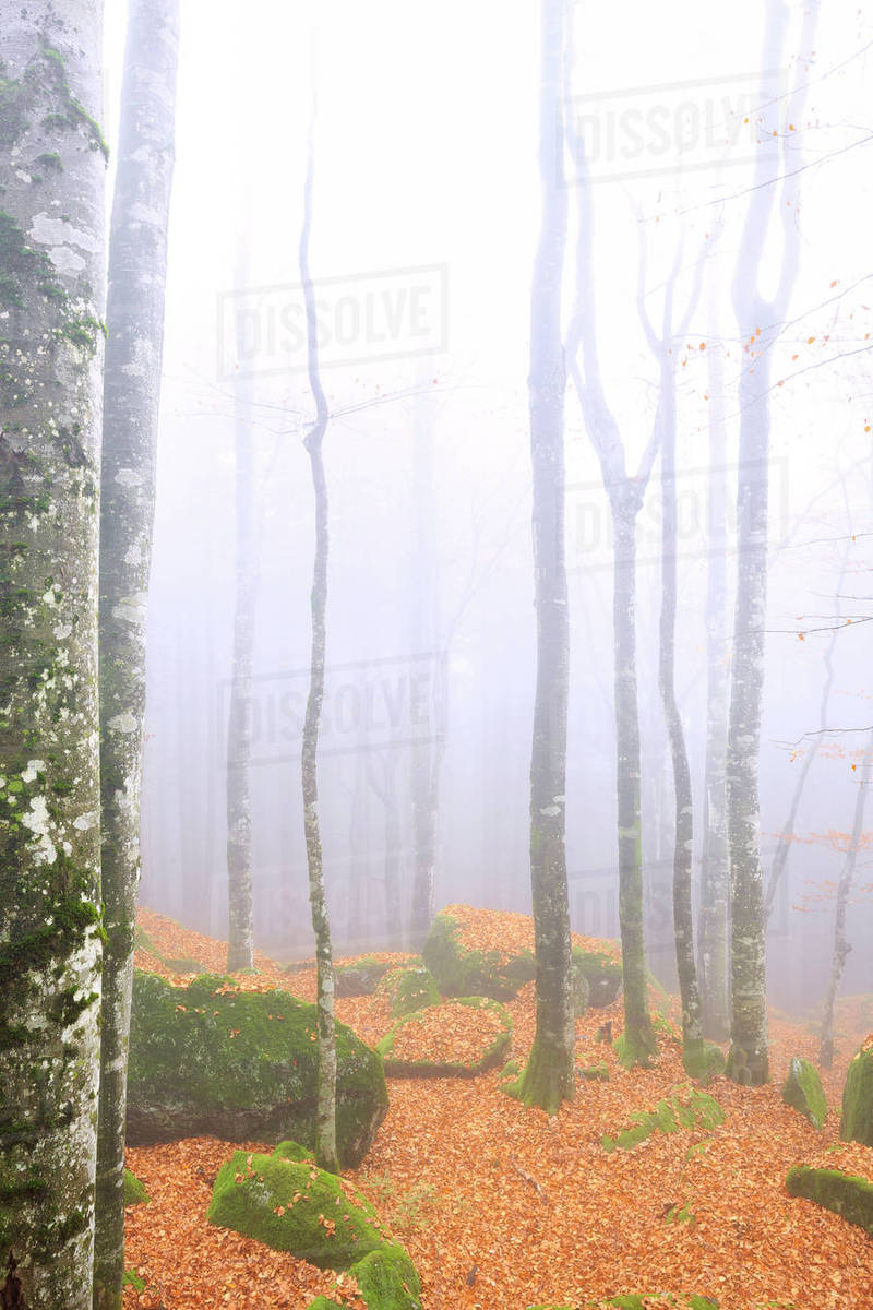 Fog in the forest of Bagni di Masino during autumn, Valmasino ...