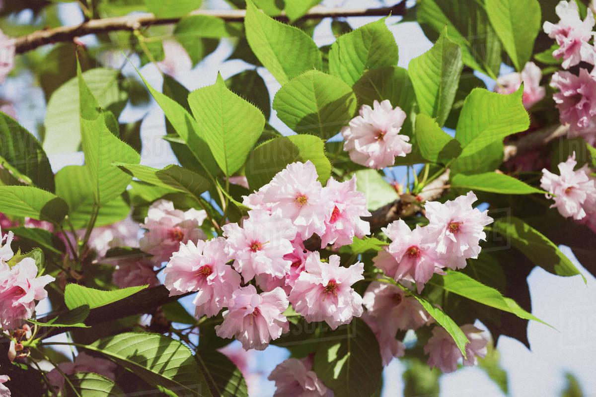 Cherry blossom beautiful, sakura. Japan Royalty-free stock photo