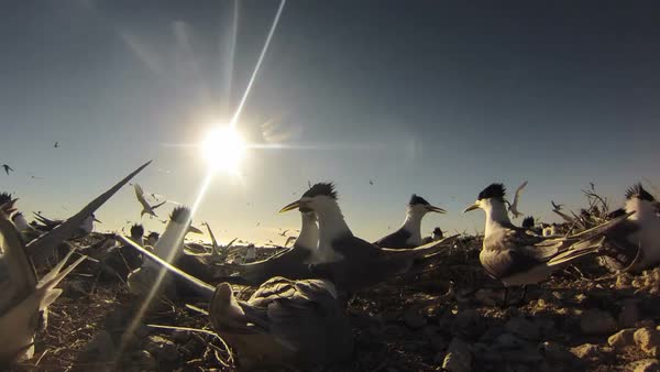 Timelapse showing Colony of sea birds Royalty-free stock video
