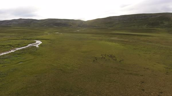 Reindeer walking in grass of Tundra, serial view Royalty-free stock video