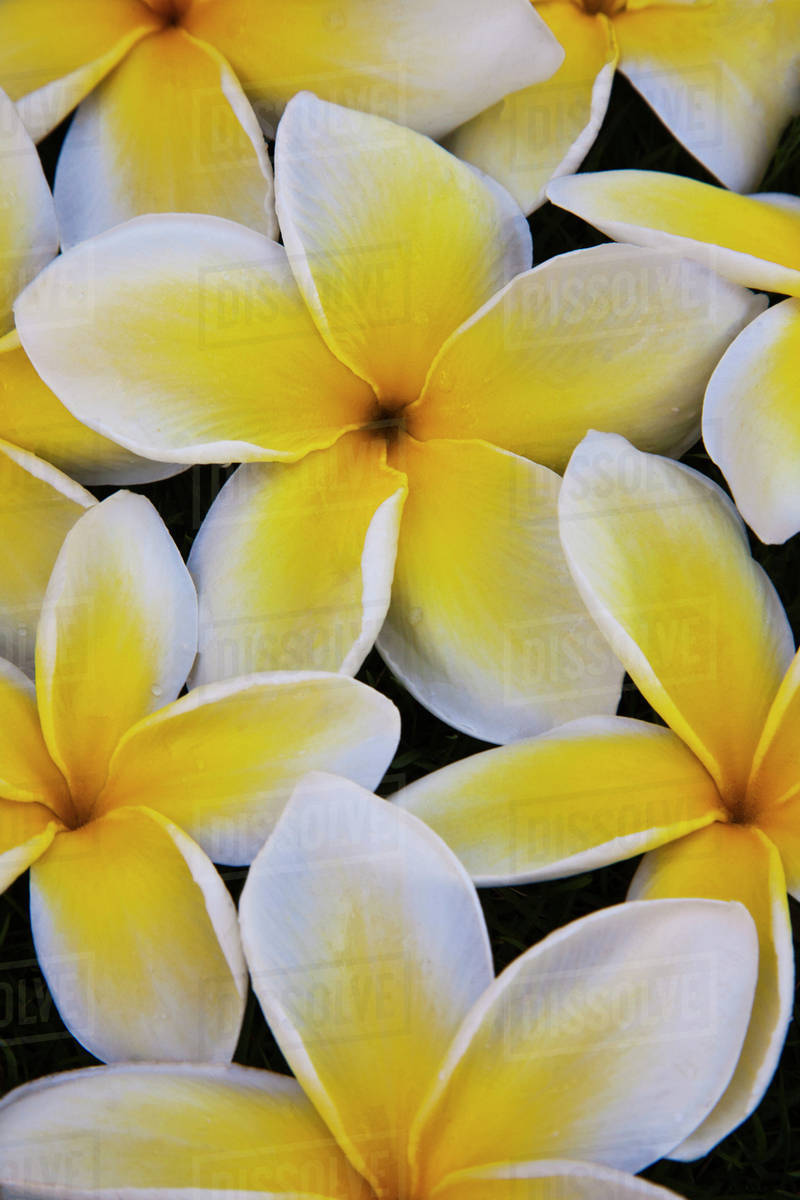 Usa hawaii oahu plumeria flowers in bloom stock photo dissolve usa hawaii oahu plumeria flowers in bloom izmirmasajfo
