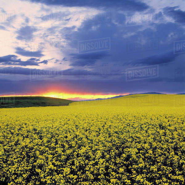 USA, Idaho, Swan Valley. A fiery sunset erupts over a bright yellow field of canola in Swan Valley, Idaho. Royalty-free stock photo
