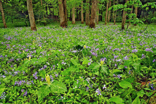 Meadow of Blue Phlox (Phlox divaricata) and Yellow Trillium (Trillium luteum) on forest floor at White Oak Sinks, Great Smoky Mountains National Park, Tennessee Royalty-free stock photo