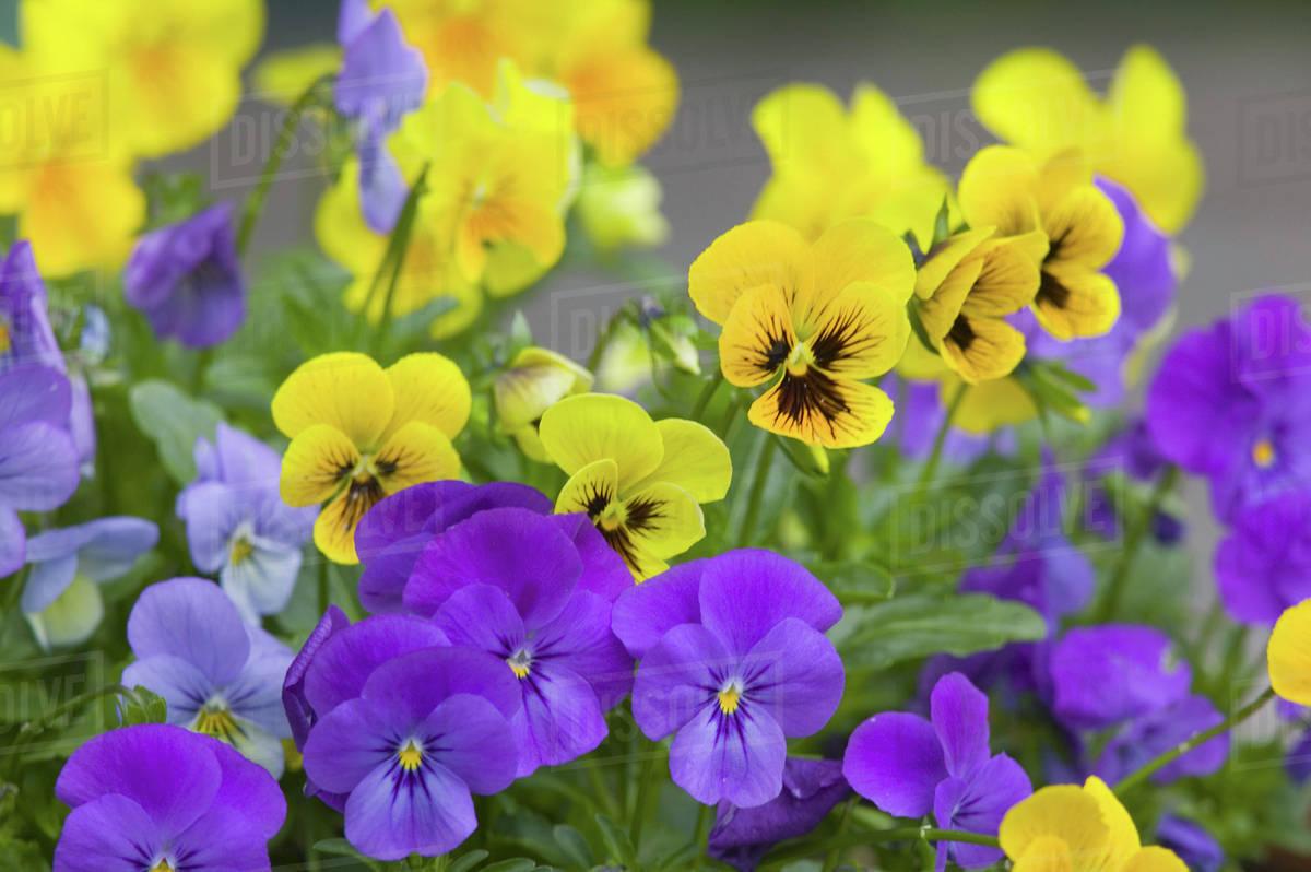 Na Usa Washingtonstate Seattle Backyard Flowers Lavendar And