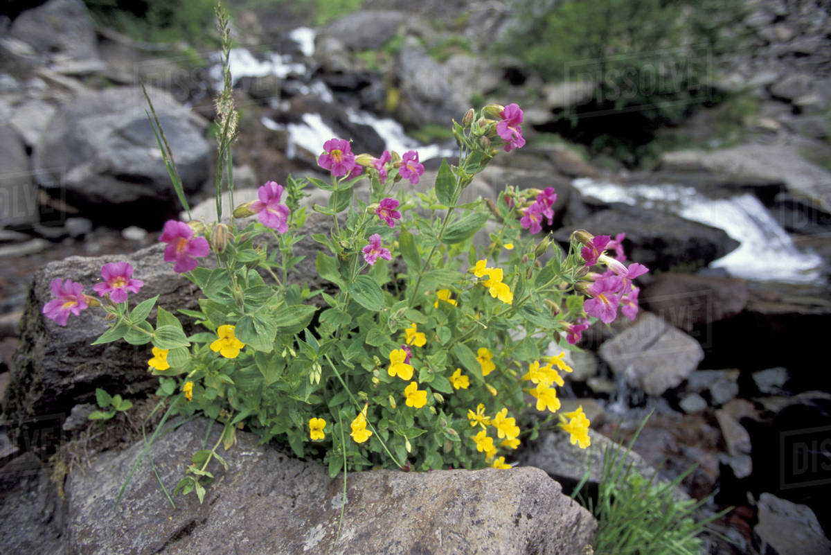 Na Usa Washington Mt Rainier National Park Pink Monkeyflower