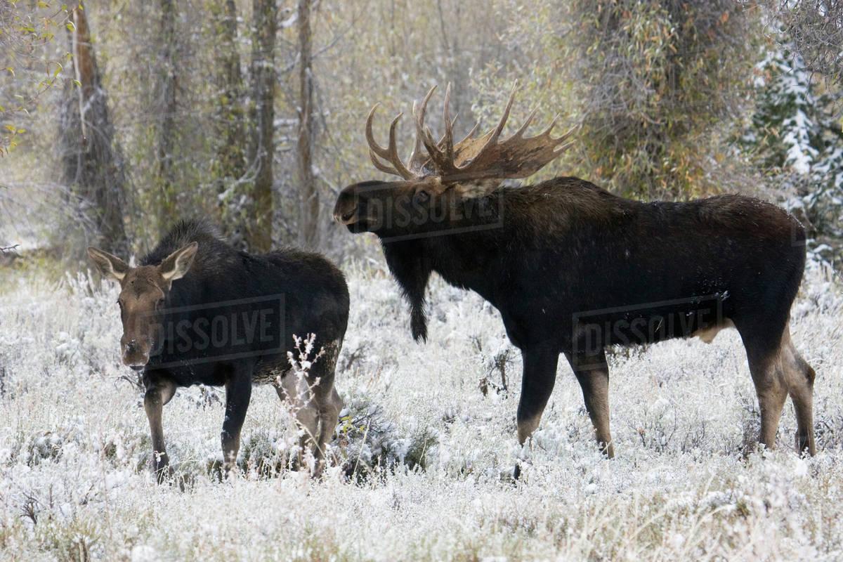 Shiras Bull Moose Courting Cow Moose Royalty-free stock photo