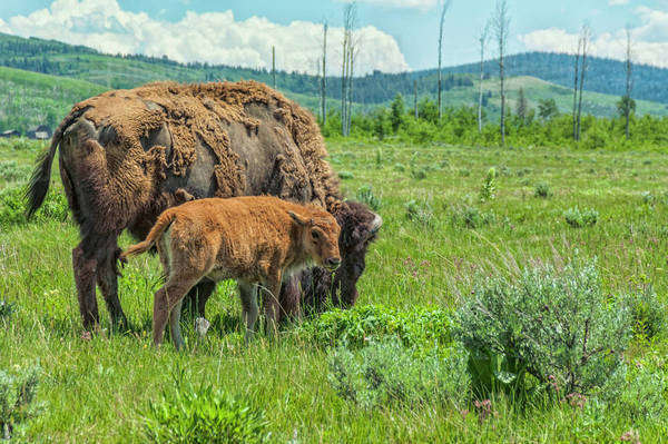 Mother bison and calf grazing in Grand Teton National Park, Wyoming. Royalty-free stock photo