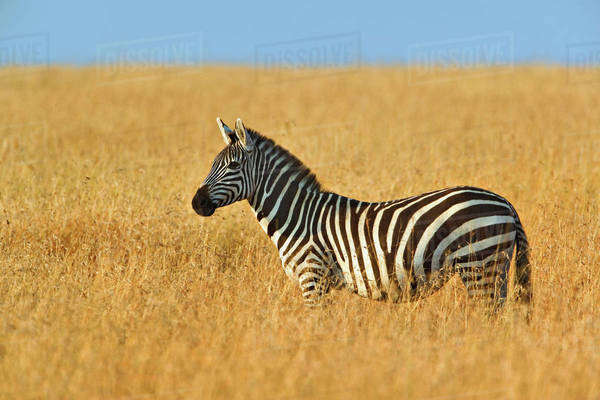 Single Burchell's Zebra in tall summer grass, Masai Mara, Kenya Equus burchellii Royalty-free stock photo