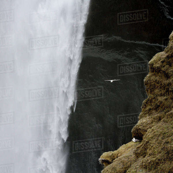 Iceland. Seagull flies past Skogafoss waterfall. Royalty-free stock photo