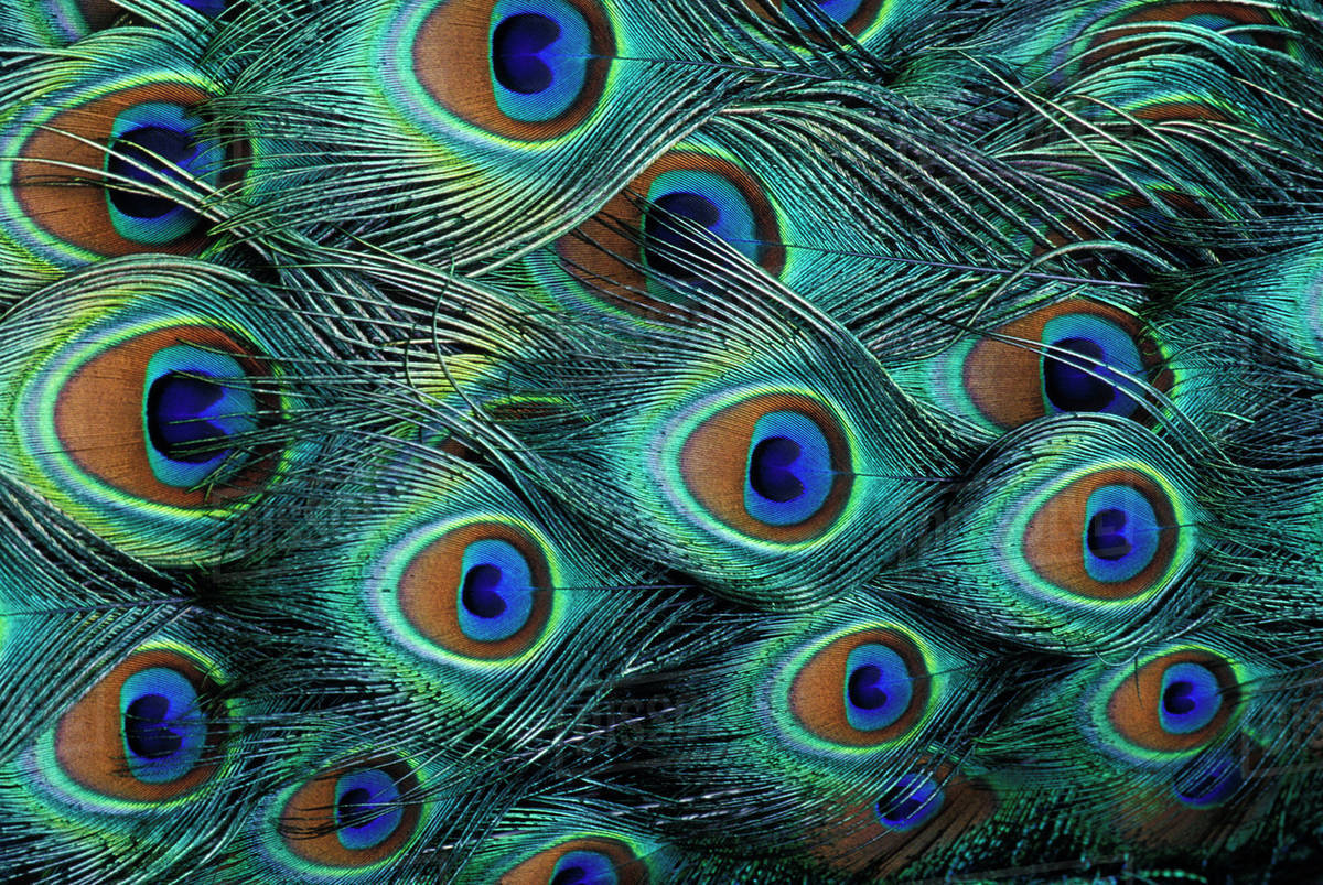 pattern in male peacock feathers stock photo dissolve