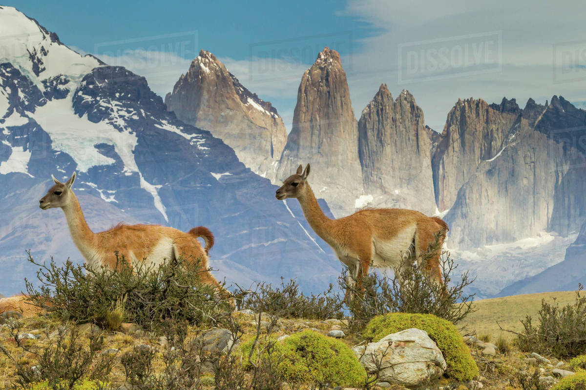 Patagonia South America >> South America Chile Patagonia Torres Del Paine Guanacos In Field Stock Photo