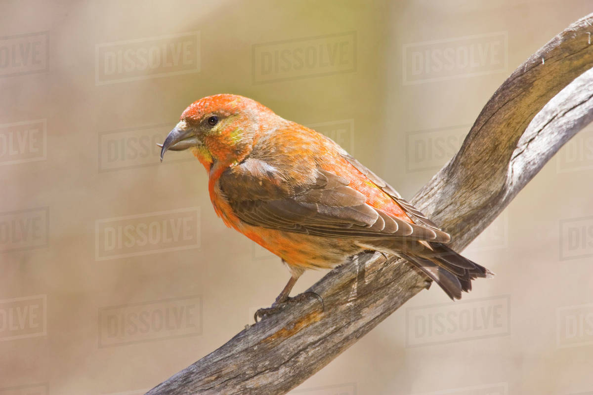 USA, Colorado, Frisco  Close-up of male red crossbill on branch  stock photo
