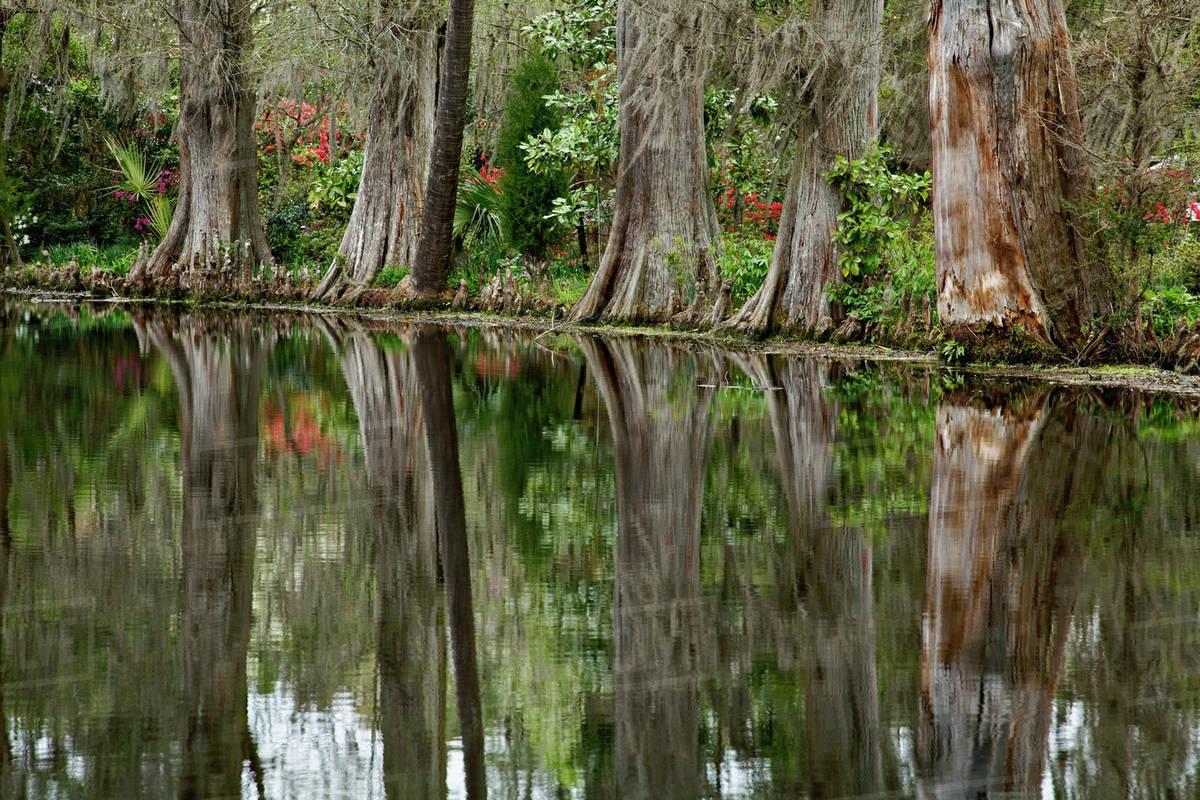 Cypress trees reflected on pond, Magnolia Plantation, Charleston ...