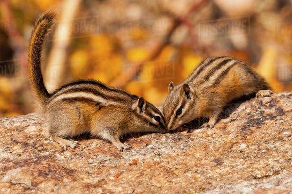 USA, South Dakota, Custer State Park. Two chipmunks on rock. Royalty-free stock photo