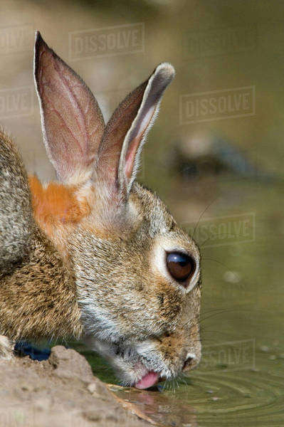 USA, Texas, Starr County. Close-up of desert cottontail rabbit drinking at pond. Royalty-free stock photo