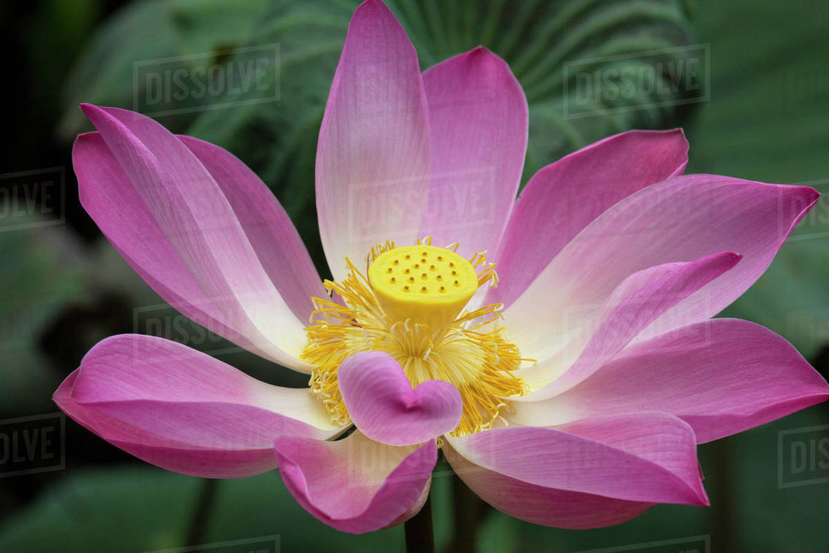 Pink Lotus Flower Water Lily Nymphaea Species Ubud Stock Photo