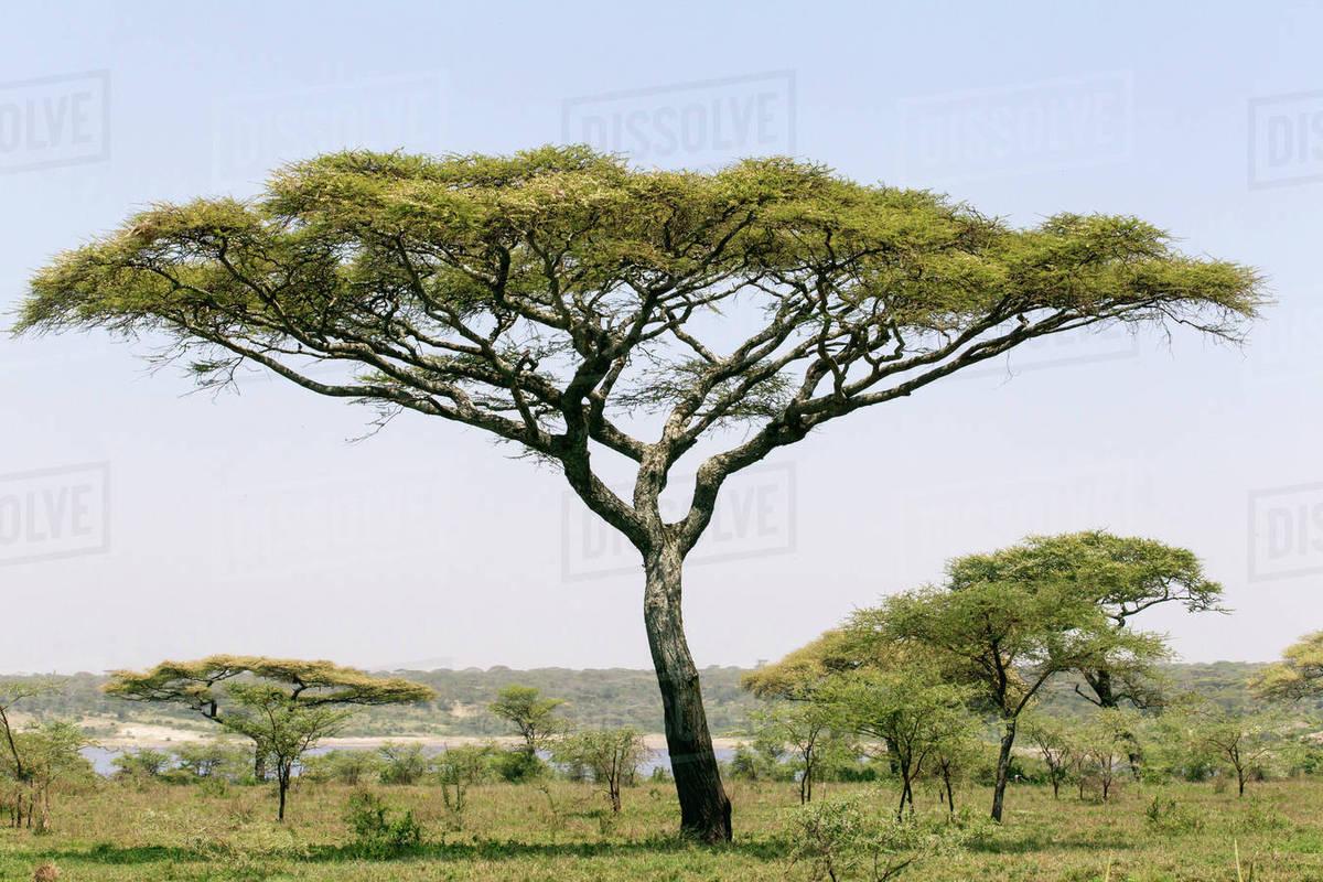 Landscape With Large Acacia Tree Near Shore Of Lake Ndutu Other