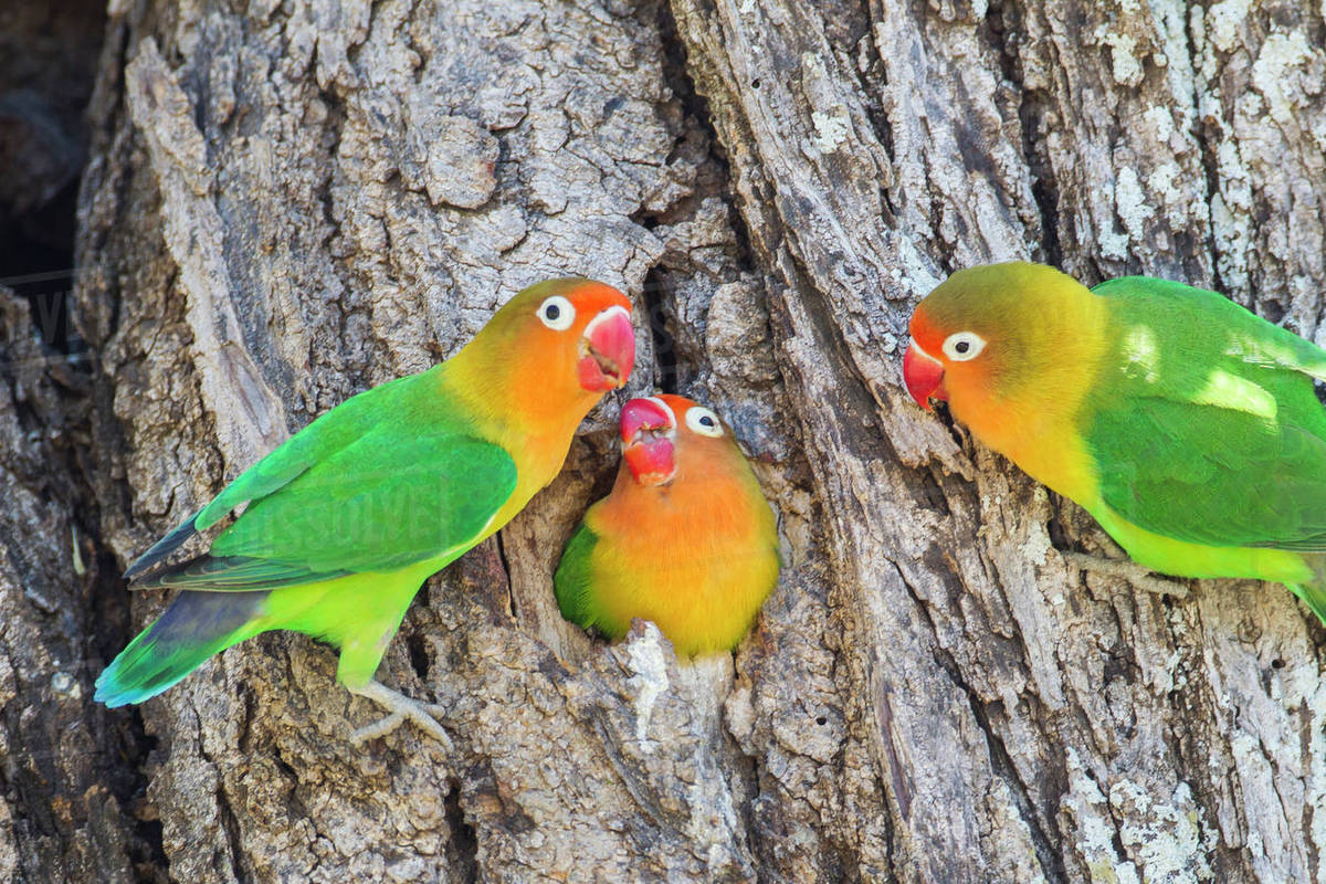 A Fischer's Lovebird (Agapornis fischeri) feeds its mate in a cavity nest,  while another lovebird looks on  Ngorongoro Conservation Area, Tanzania