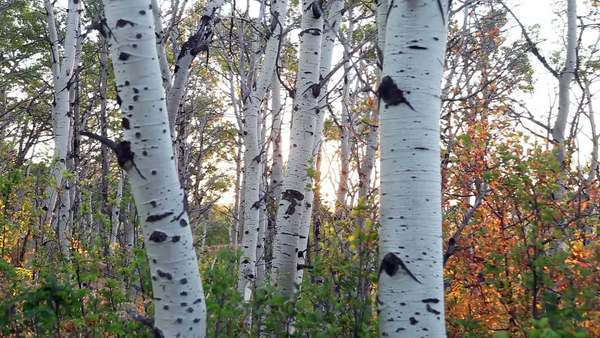 Morning sun rises through stand of quaking aspen trees in Glacier National Park, Montana, USA Rights-managed stock video